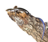 The (American) five-lined skink (Plestiodon fasciatus) — Stockfoto