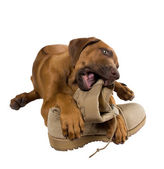Rhodesian ridgeback puppy chewing on his master's army boots — Stok fotoğraf