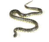 Description: Young Holbrooki speckled king snake — Stock Photo