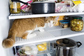 Frightened cat in the refrigerator — Stock Photo