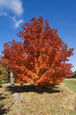 Beautiful tree with bright red maple leaves — Stock Photo