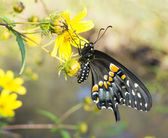 Just emerged from the chrysalis butterfly Eastern Black Swallowtail — Stock Photo