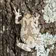 Stock Photo: Mimicry of Cope's gray tree frog Hylchrysoscelis