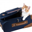 Stock Photo: Cat climbed into the trunk, so as not to forget