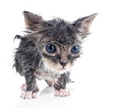 Sad little wet gray kitten — Stock Photo