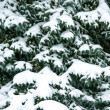 Stock Photo: Fir branch under snow