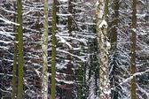Snowy fir trees — Stock Photo