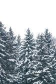 Los abetos bajo la nieve — Foto de Stock