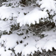 Fir branch under snow — Stock Photo
