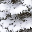 Fir branch under snow - Stock Photo