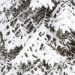 Snow covered fir tree - Stock Photo