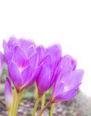 Bahar crocus — Stok fotoğraf
