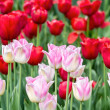 Pink and red tulips — Stock Photo #24899755