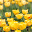 Yeloow tulips at spring — Stock Photo