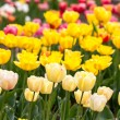 Yellow tulips — Stock Photo #24899973