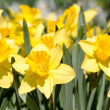 Yellow spring narcissus — Stock Photo