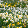 Spring daffodils — Stock Photo #24989141