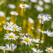 Stock Photo: Meadow with flowers