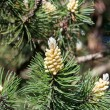 Young cones and fir tree — Stock Photo