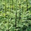 Young fir tree — 图库照片