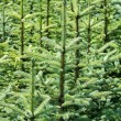 Young fir tree — Foto de Stock