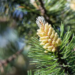 Young cone of spruce — Stock fotografie