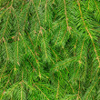 Fir tree background — Foto Stock