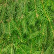 Fir tree background — Foto de Stock