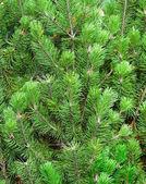 Albero di natale verde — Foto Stock
