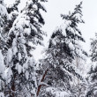Fir under snow — Stock Photo