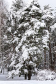 Winter trees in snow — Stock Photo