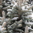 Snow covered fir tree — Stock fotografie