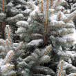 Snow covered fir tree — Stock Photo