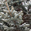 Winter fir tree branches — Stock Photo