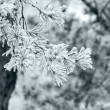 Winter pine tree branch — Stock Photo