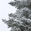 Pine tree on snow — Stock Photo