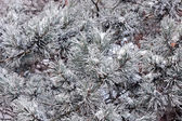 Frozen pine branches — Stock Photo