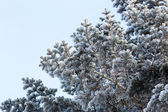 Snowy pine tree branches — Stock Photo