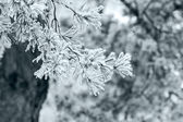 Winter pine tree branch — Foto Stock