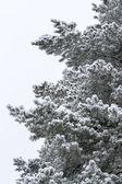 Pine tree on snow — Stock Photo