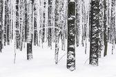 Winter beech trees — Stock Photo