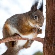 Red squirrel on tree branch — Stock Photo