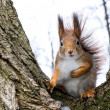 Red squirrel on tree — Stock Photo
