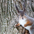 Grey squirrel on tree — Stock Photo
