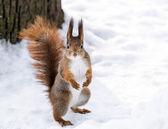 Neugierig Eichhörnchen — Stockfoto