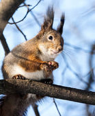Squirrel on tree branch — Stock Photo