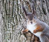 Esquilo cinzento na árvore — Fotografia Stock