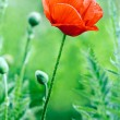 Red poppy blossom — Stock Photo #42008923