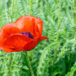 Poppy blossom — Stock Photo #42009233