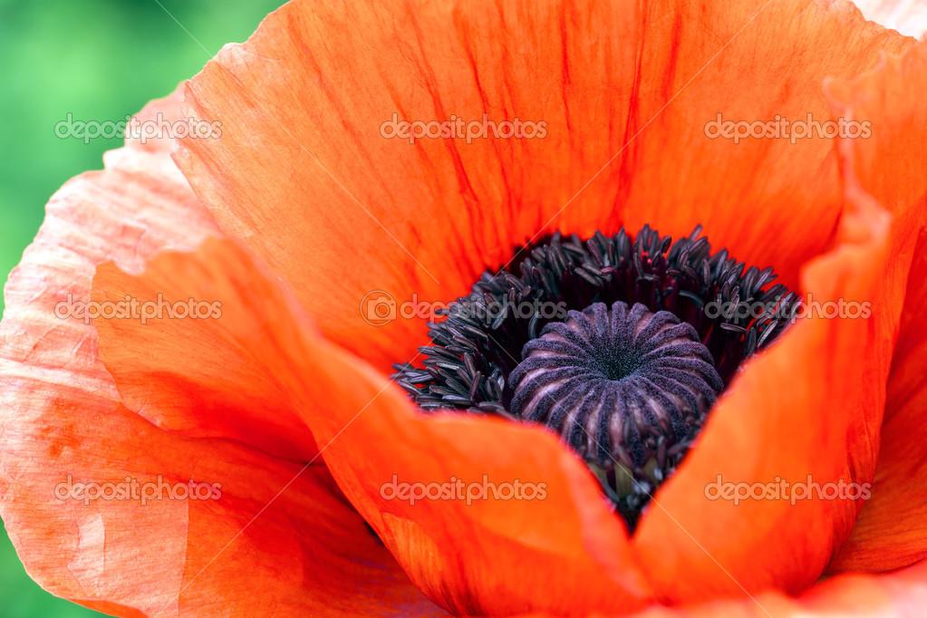 Мак фото цветок крупным